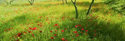 https://imgc.artprintimages.com/img/print/poppies-field-in-bloom-umbria-italy_u-l-q1bmo3x0.jpg?p=0