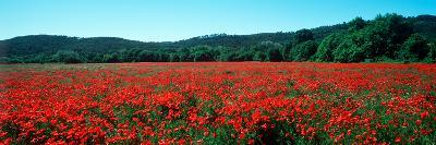 Poppies Field in Spring, Provence-Alpes-Cote D'Azur, France--Photographic Print