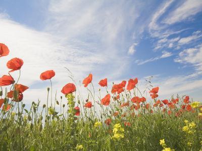 Poppies, Highland of Castelluccio Di Norcia, Norcia, Umbria, Italy, Europe-Angelo Cavalli-Photographic Print