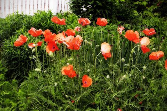 Poppies I-Alan Hausenflock-Photographic Print