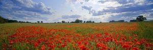 Poppies in a Field, Norfolk, England