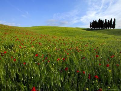 Poppies in a Wheatfield-Raul Touzon-Photographic Print