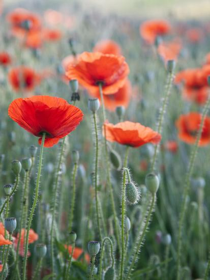 Poppies in Bloom, Washington, USA-Brent Bergherm-Photographic Print