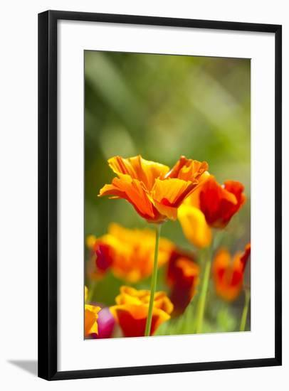 Poppies in Full Bloom, Seattle, Washington, USA-Terry Eggers-Framed Photographic Print