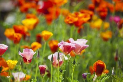 Poppies in Full Bloom-Terry Eggers-Photographic Print