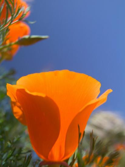 Poppies in Spring Bloom, Lancaster, California, USA-Terry Eggers-Photographic Print