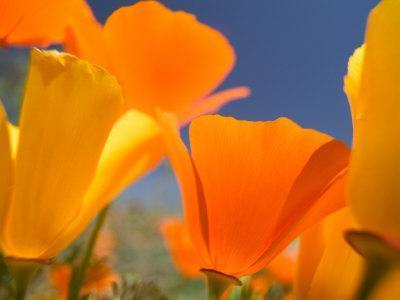 https://imgc.artprintimages.com/img/print/poppies-in-spring-bloom-lancaster-california-usa_u-l-pxpod30.jpg?p=0