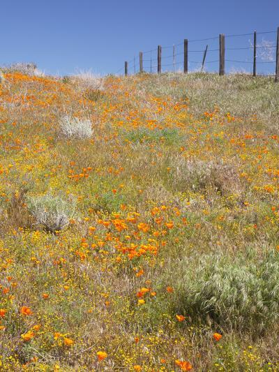 Poppy and Goldfield Flowers with Fence, Antelope Valley Near Lancaster, California, Usa-Jamie & Judy Wild-Photographic Print