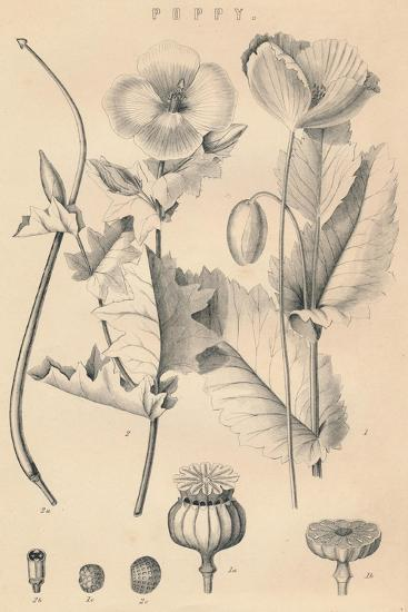 'Poppy', c19th century-Unknown-Giclee Print