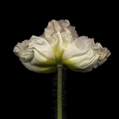 Poppy D: White Icelandic Poppy-Doris Mitsch-Photographic Print