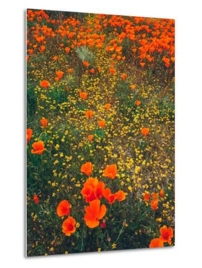 Poppy Field Design, Central California-Vincent James-Metal Print