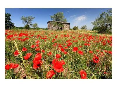 Poppy Field in front of a Country House on the Hills near Orvieto, Province of Terni, Umbria, Italy--Art Print