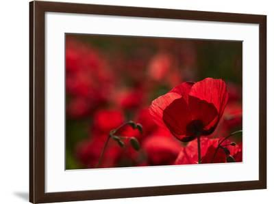 Poppy Field in the Alberes, Languedoc-Roussillon, France, Europe-Mark Mawson-Framed Photographic Print