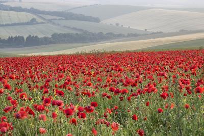 Poppy Field Landscape in Summer Countryside Sunrise-Veneratio-Photographic Print