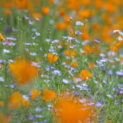 Poppy Flower Mix-Vincent James-Photographic Print
