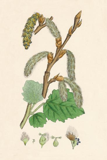 'Populus canescens. Gray Poplar', 19th Century-Unknown-Giclee Print