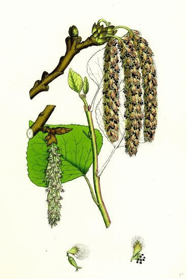 Populus Nigra Black Poplar--Giclee Print