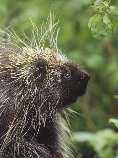 Porcupine Face, Erethizon Dorsatum, North America-Gerald & Buff Corsi-Photographic Print