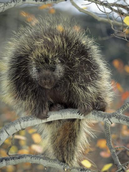 Porcupine in Aspen Tree in Autumn-Daniel J. Cox-Photographic Print