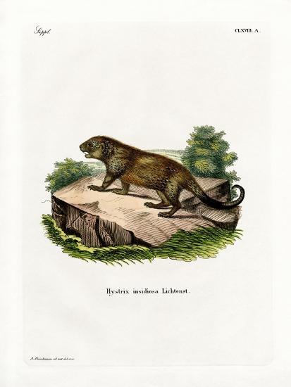 Porcupine--Giclee Print