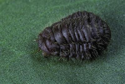 https://imgc.artprintimages.com/img/print/porphyrophora-crithmi-scale-insect-female_u-l-pzqjxy0.jpg?p=0