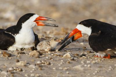 Port Isabel, Texas. Black Skimmer Adult Feeding Young-Larry Ditto-Photographic Print