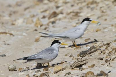 Port Isabel, Texas. Least Tern Beside Egg at Nest Colony-Larry Ditto-Photographic Print