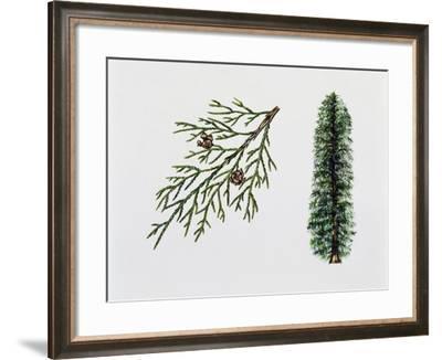 Port Orford Cedar (Chamaecyparia Lawsoniana), Cupressaceae, Tree, Leaves and Fruits--Framed Giclee Print