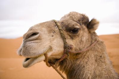 Portait of a North African Camel (Camelus Dromedarius) Morocco, North Africa-Ben Queenborough-Photographic Print