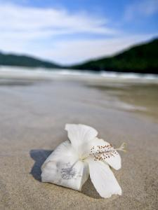 Hibiscus Flower on Beach, Perhentian Islands, Malaysia, Southeast Asia by Porteous Rod