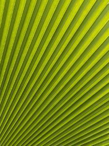 Palm Leaf, Botanical Gardens, Georgetown, Penang, Malaysia, Southeast Asia by Porteous Rod
