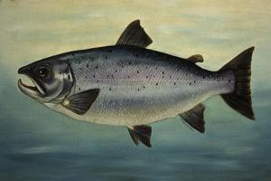 Atlantic Salmon by Porter Design