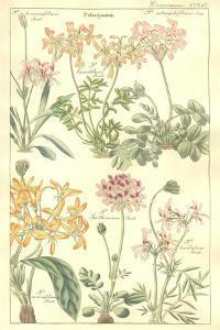 Geraniaceae Plate 306 by Porter Design