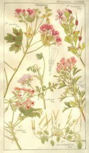 Geraniaceae Plate 323 by Porter Design