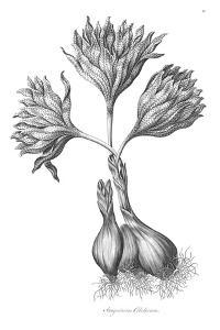 Sanguineous Colchicum by Porter Design