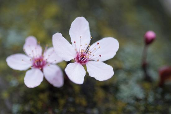 Portland Cherry Blossom 2-Erin Berzel-Photographic Print