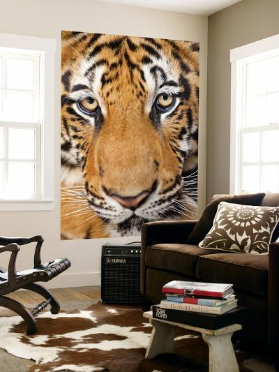 Portrait, Indochinese Tiger or Corbett's Tiger (Panthera Tigris Corbetti), Thailand-Peter Adams-Wall Mural