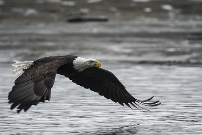 Portrait of a Bald Eagle, Haliaeetus Leucocephalus, Flying Low over the Chilkat River-Bob Smith-Photographic Print