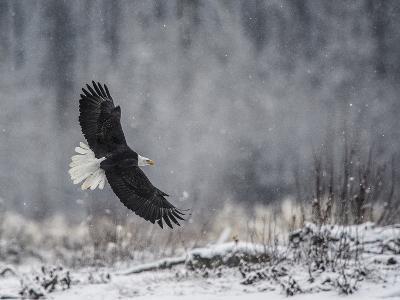 Portrait of a Bald Eagle, Haliaeetus Leucocephalus, in Flight During a Snow Shower-Bob Smith-Photographic Print