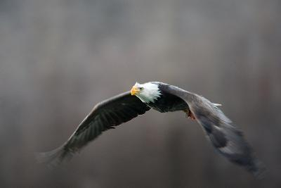 Portrait of a Bald Eagle, Haliaeetus Leucocephalus, in Flight, with Something in its Talons-Bob Smith-Photographic Print