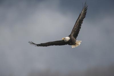 Portrait of a Bald Eagle, Haliaeetus Leucocephalus, in Flight-Bob Smith-Photographic Print