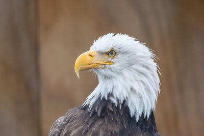 Portrait of a Bald Eagle-JHVEPhoto-Photographic Print