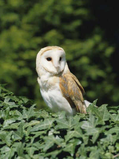 Portrait of a Barn Owl (Tyto Alba)-Philip Craven-Photographic Print