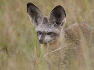 Portrait of a Bat-Eared Fox, Otocyon Megalotis-Roy Toft-Photographic Print