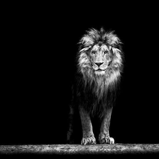 Portrait of a Beautiful Lion, in the Dark-Baranov E-Photographic Print