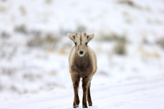 Portrait of a Bighorn Sheep Calf, Ovis Canadensis, in a Snowy Field-Robbie George-Photographic Print