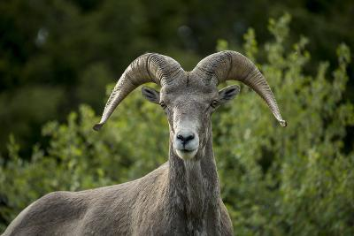 Portrait of a Bighorn Sheep Near the Gird Point Lookout on a Mountain Peak-Ami Vitale-Photographic Print