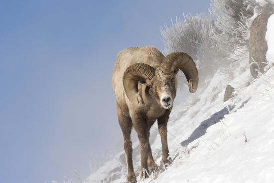 Portrait of a Bighorn Sheep, Ovis Canadensis, Grazing on a Snowy Slope-Robbie George-Photographic Print