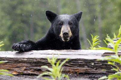 Portrait of a Black Bear, Ursus Americanus, in the Canadian Rockies-Jill Schneider-Photographic Print