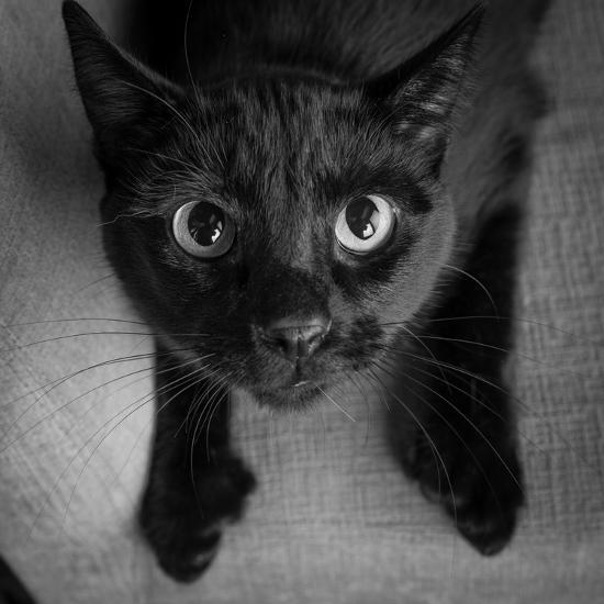 Portrait of a Black Cat on a Chair--Photographic Print